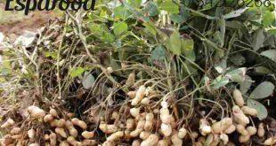 عرضه مستقیم بذر بادام زمینی