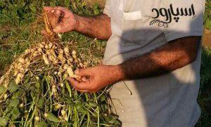تولید بذر بادام زمینی درجه یک