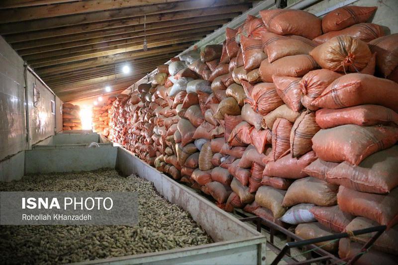 فروش بادام زمینی تازه